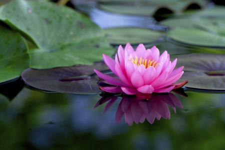 450-187014300-pink-lotus-flower